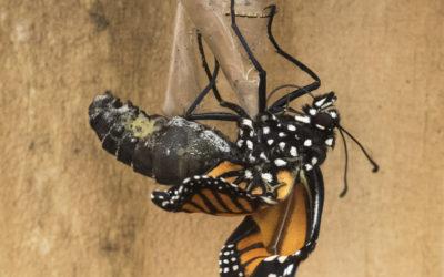 Når sommerfuglen slår vingerne ud