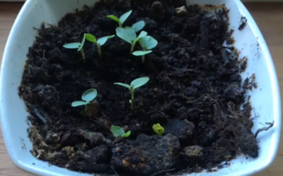Fra frø til plante